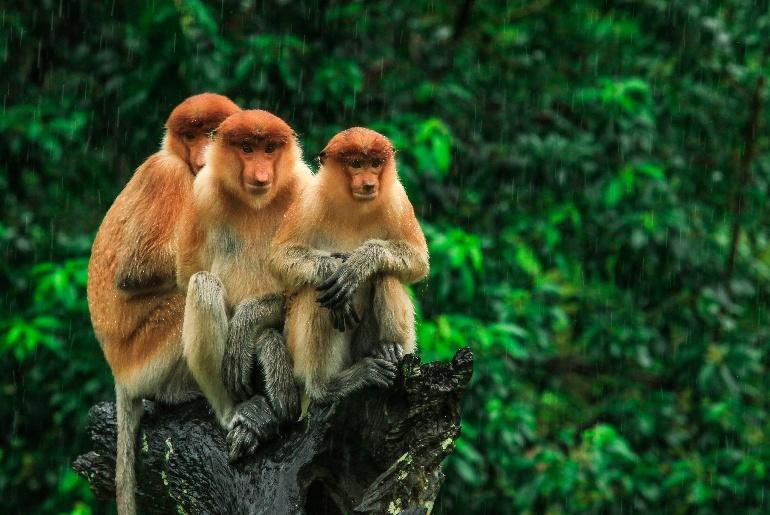 Borneo jungle monkeys