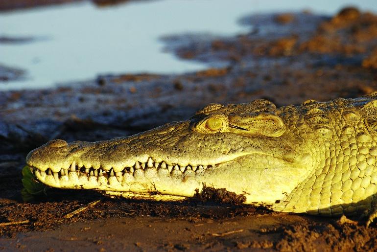 Tanzania crocodile