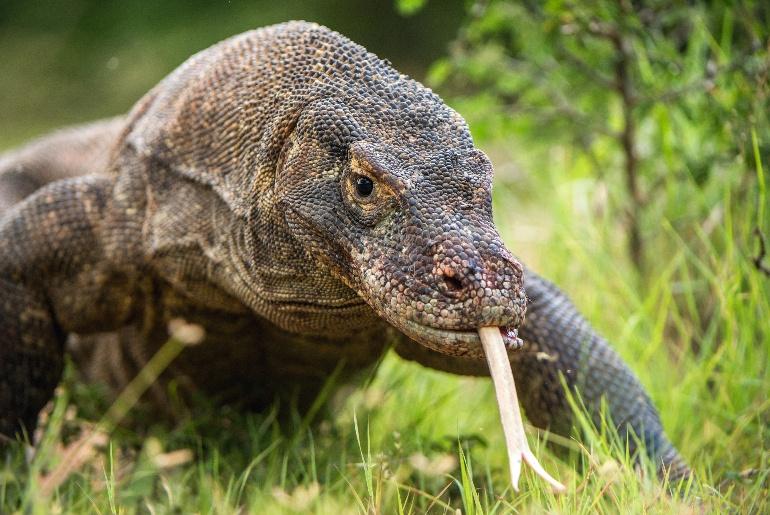 Komodo Dragons Indonesia