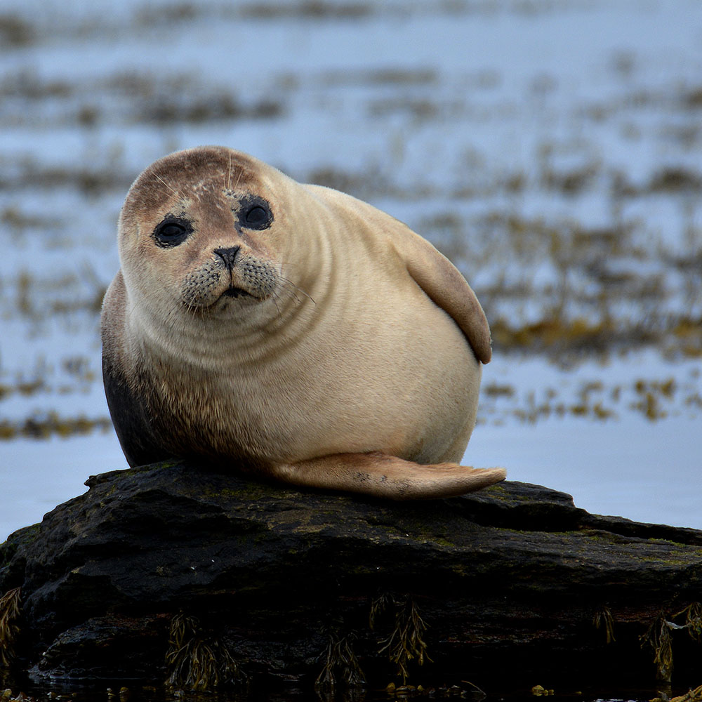 seal orkney