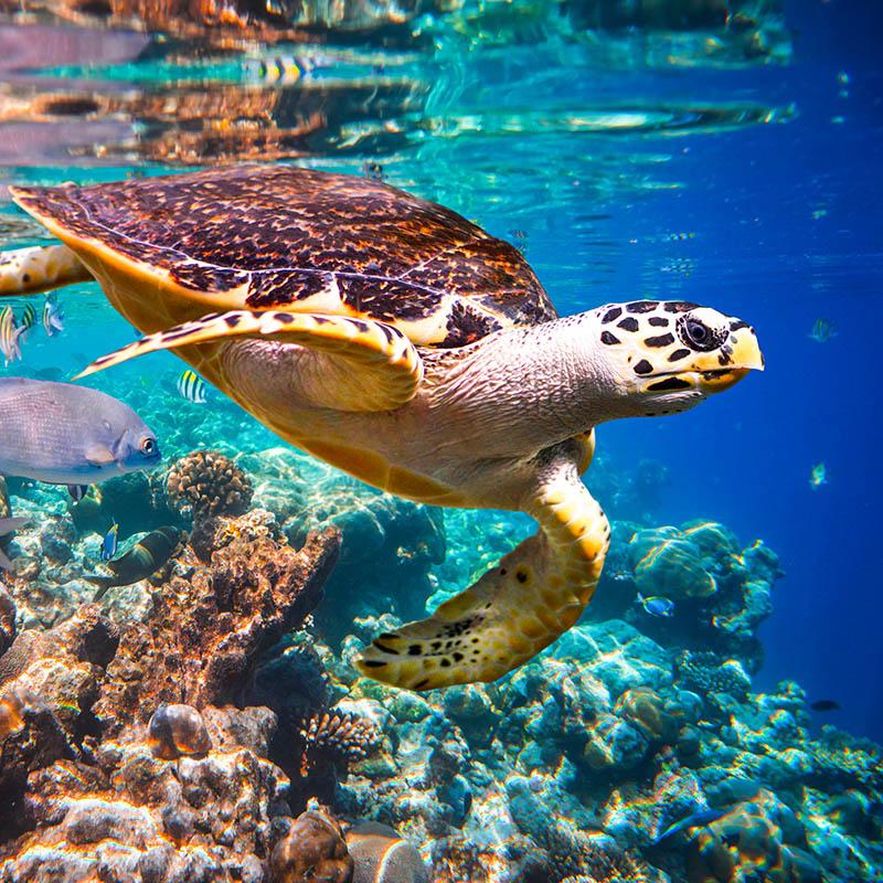 turtle in caribbean sea