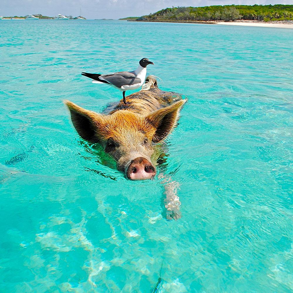swimming pigs sailing adventure bahamas